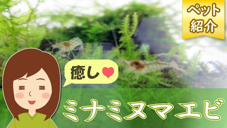 画像:ミナミヌマエビを飼育